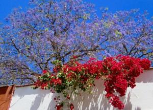 the jacaranda's bell-shaped flower