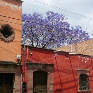 SMA - jacarandas